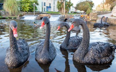 Black swan deaths attributed to bird flu