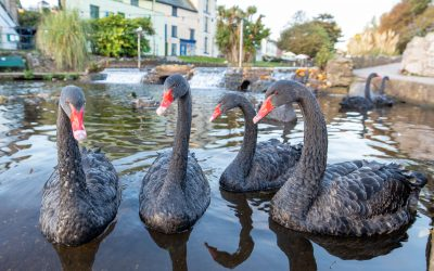 The Worlds' First Ever Live Streaming, Black Swan Camera Debuts in Dawlish, UK.